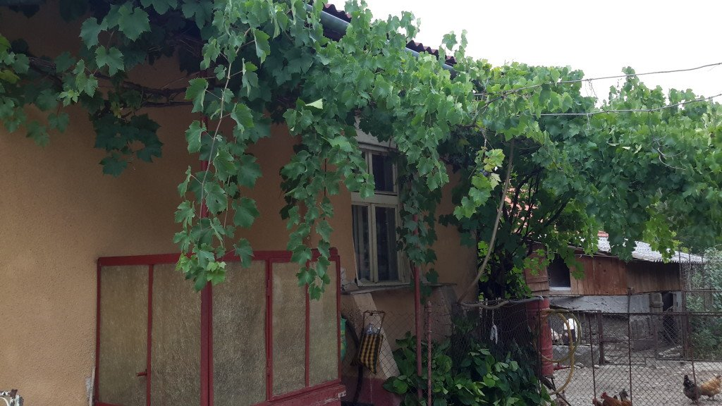 Grapes on Farm