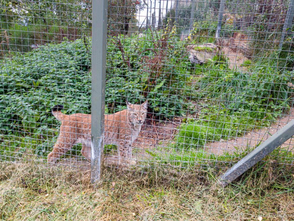 Linx at the Highland WIldlife Park